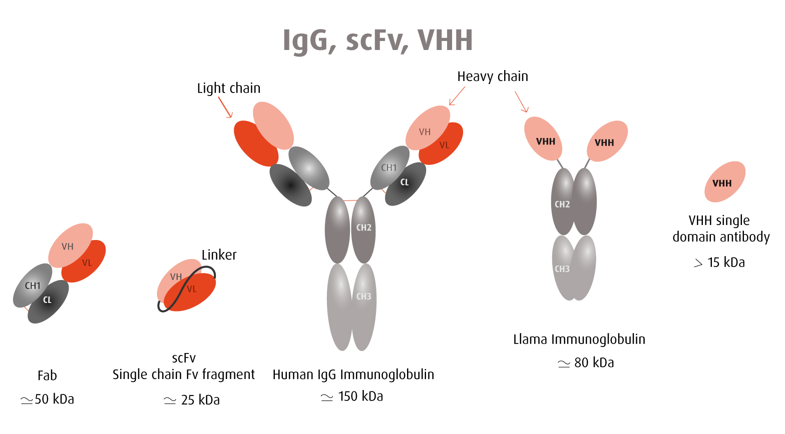 Comparison between a VHH antibody and a full immunoglobulin