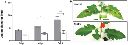 Fig. 5. Extracted from the paper B. De Coninck et al. 2017. (A) The diagram shows the difference in lesion diameters between the control (grey bars) and the treated leaves (white bars). (B) The photo shows tomato leaves non treated by the spray of VHH vs treated tomato leaves.